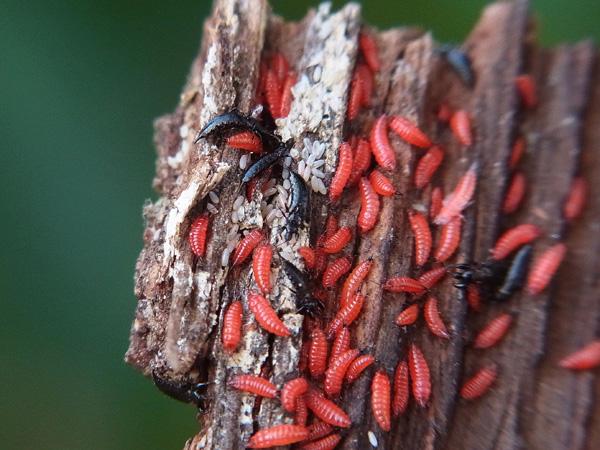 アザミウマSPの幼虫?