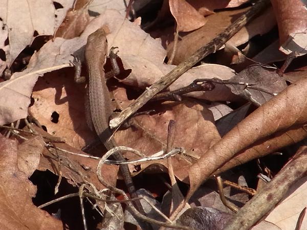 カナヘビの子ども