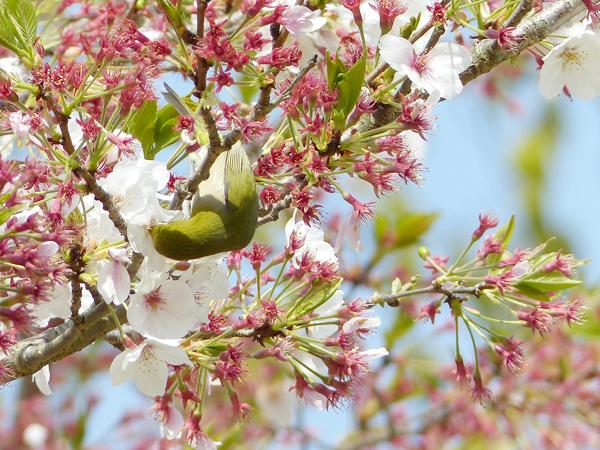 桜に来たメジロ