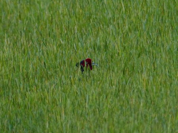 隠れるキジ