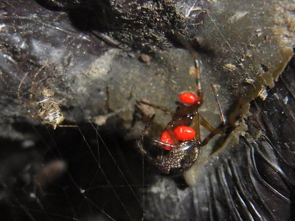 カレハヒメグモとセンショウグモ