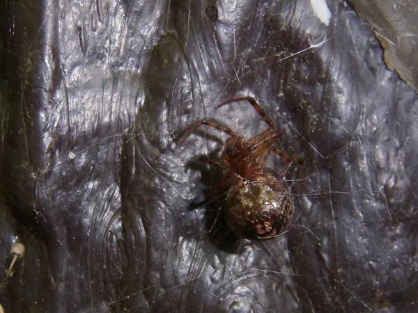 カレハヒメグモ腹部