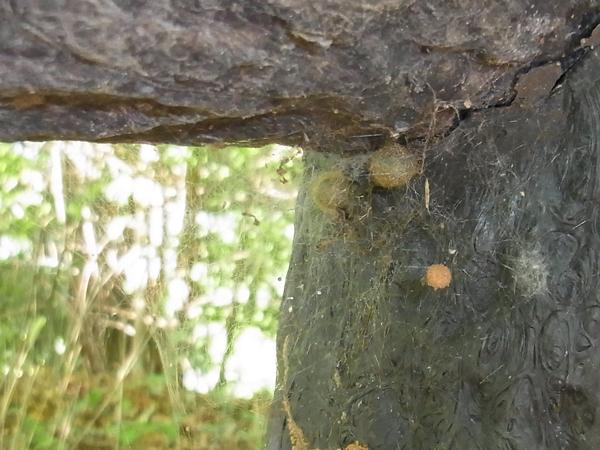 カレハヒメグモとセンショウグモの卵のう