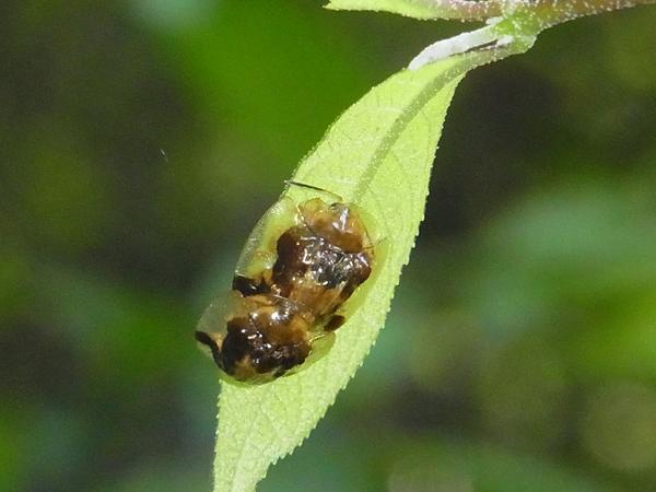 イチモンジカメノコハムシの交尾