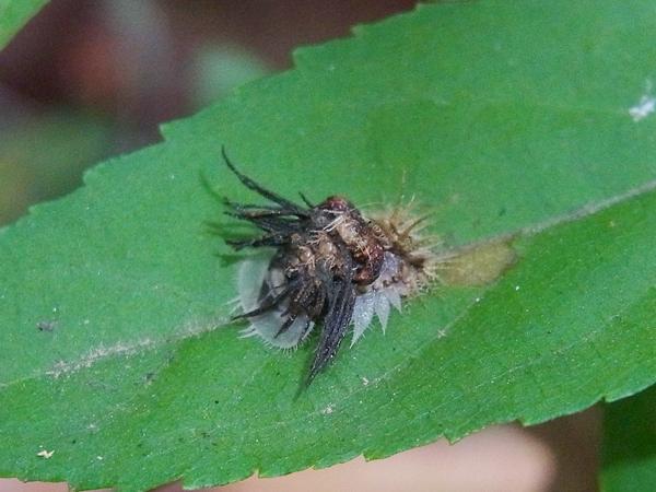 イチモンジカメノコハムシの蛹