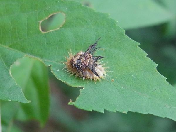 イチモンジカメノコハムシの幼虫