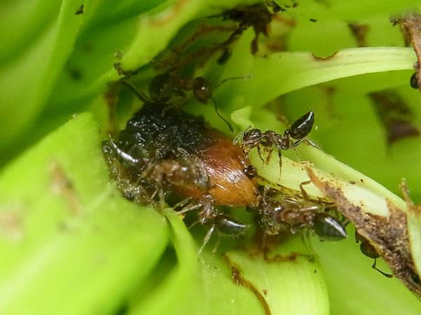 ユリクビナガハムシの幼虫とシリアゲアリ