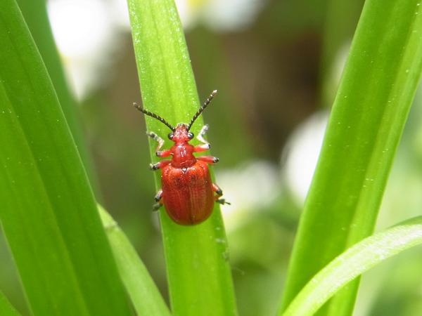 ユリクビナガハムシの成虫