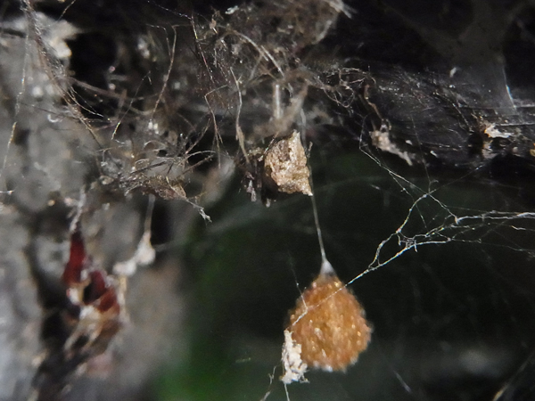 卵のうを守るセンショウグモ