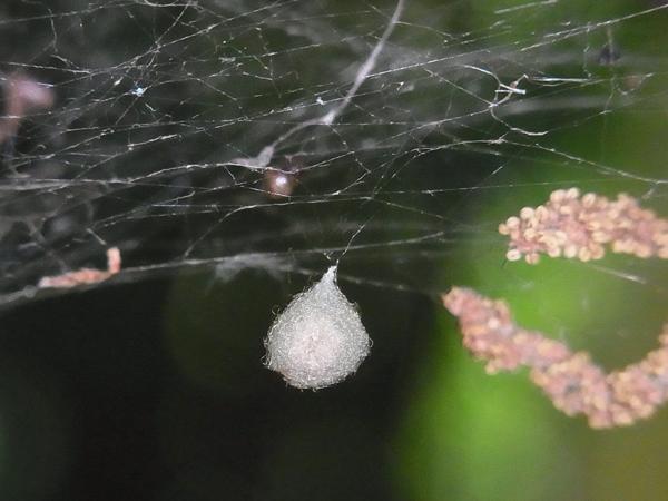 センショウグモの卵のう作り立て