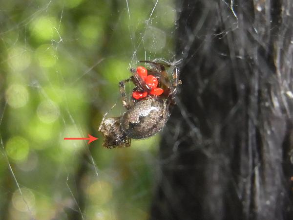 カレハヒメグモを襲うセンショウグモ