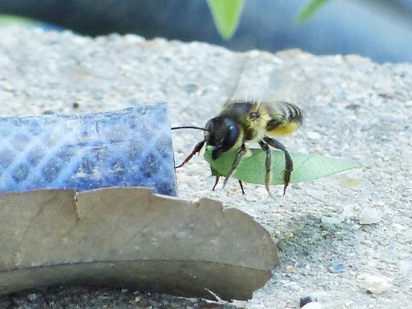 葉っぱをはさんで運ぶハキリバチ