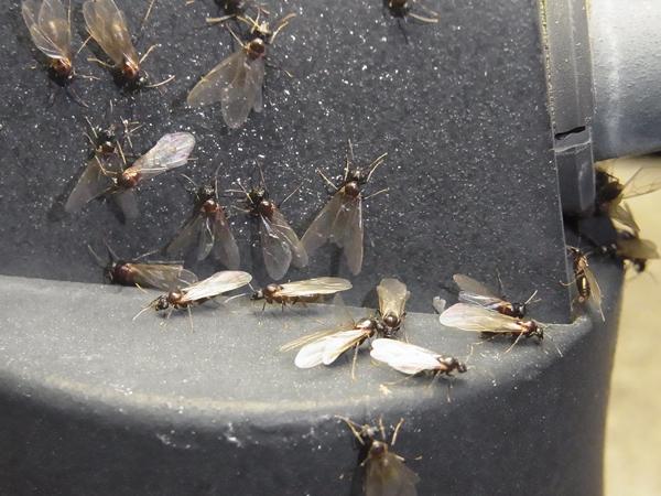 電灯に集まる羽アリたち
