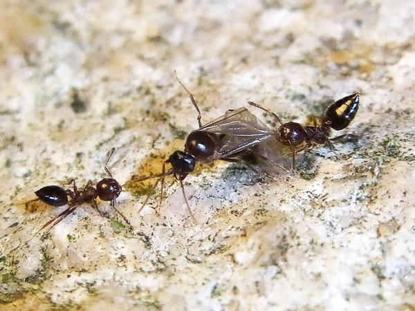 羽アリを襲うシリアゲアリ
