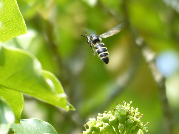 カクレミノに来たハラナガツチバチの仲間