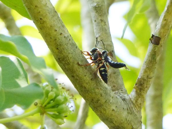 カクレミノに来た謎のハチ