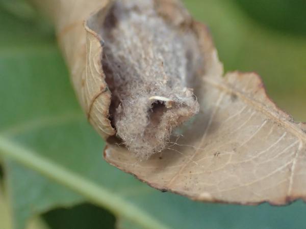 オオミノガのミノムシの下の穴