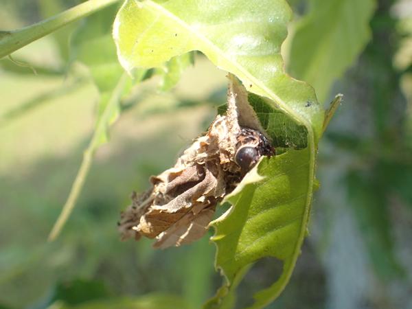 オオミノガのミノムシ食事中