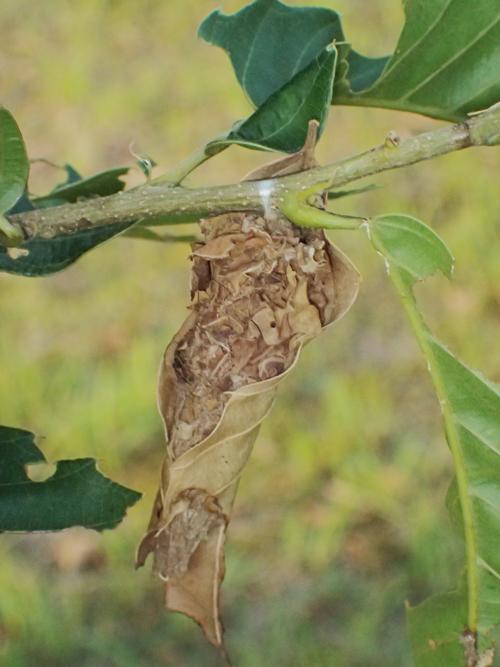 オオミノガのミノムシ
