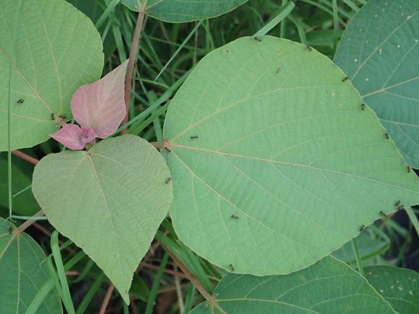 アカメガシワの幼木