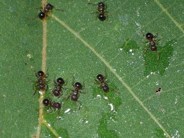 ツマグロオオヨコバイの蜜に集まるアミメアリ
