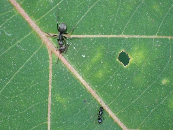 ツマグロオオヨコバイの蜜に集まるアリたち