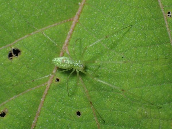 アカメガシワのウロコアシナガグモ