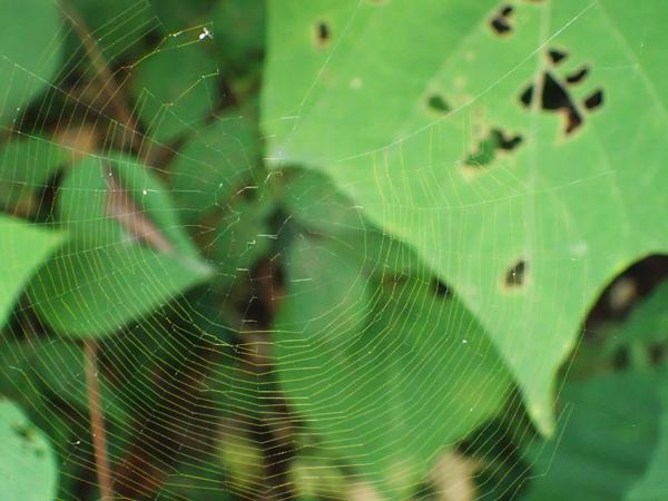 ビジョオニグモの金色の網