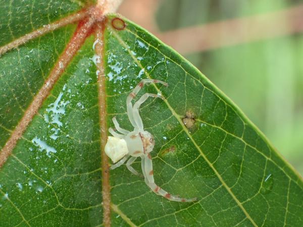 アカメガシワのアズチグモ♀