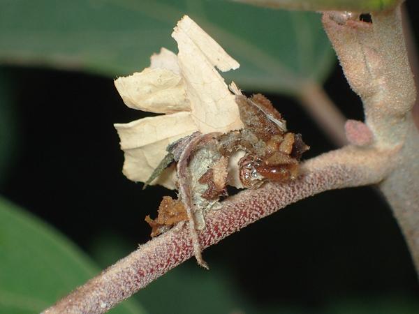 アオシャクの幼虫