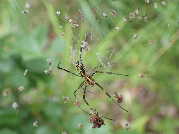 ジョロウグモの網にかかった羽アリ
