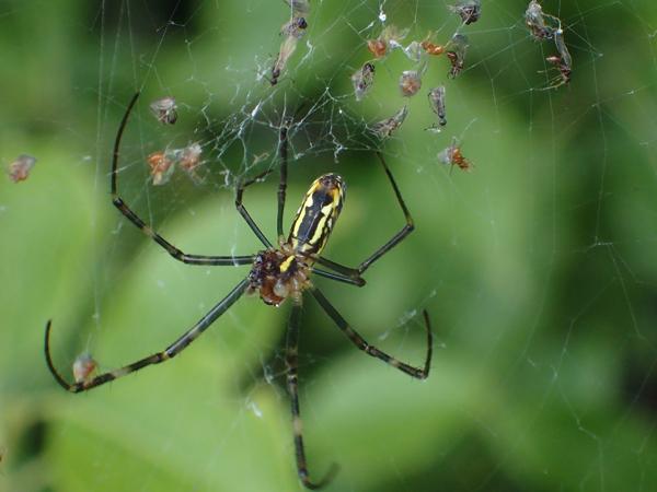 羽アリがついたジョロウグモの網