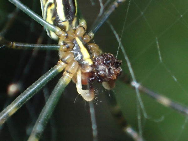 羽アリに糸をまくジョロウグモの網