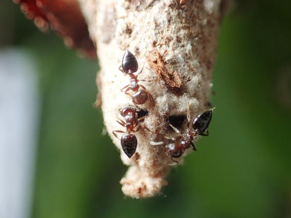 ミノムシに侵入するシリアゲアリ