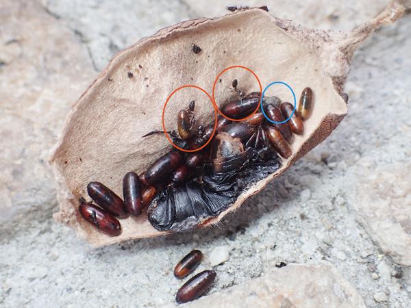 オオミノガの幼虫とオオミノガヤドリバエの蛹