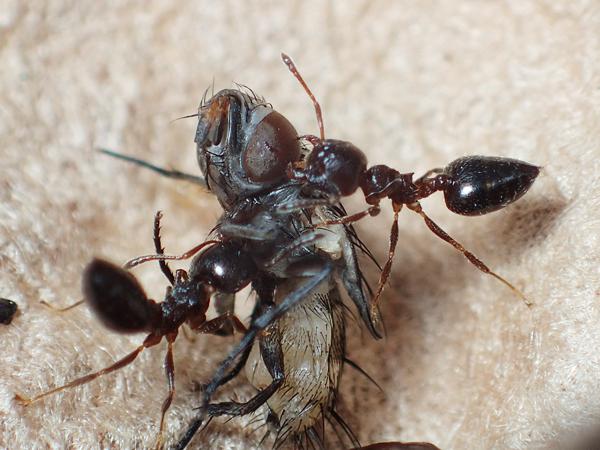 オオミノガヤドリバエを襲うシリアゲアリ