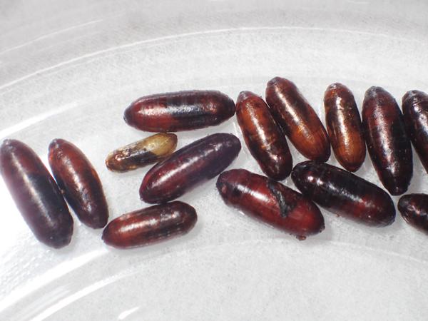 オオミノガヤドリバエの蛹