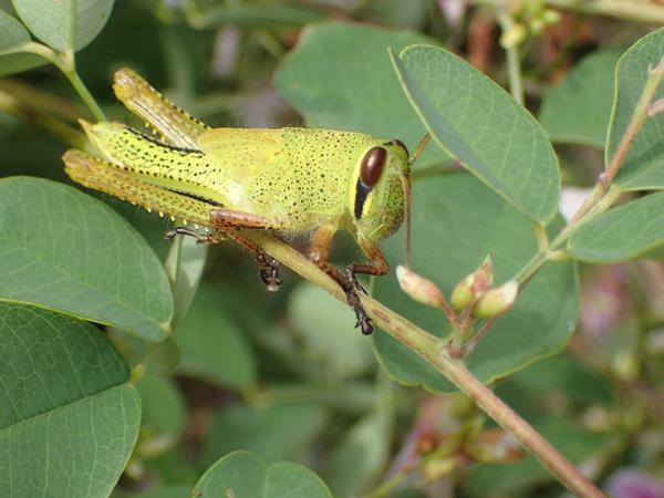 ツチイナゴ緑色の幼虫