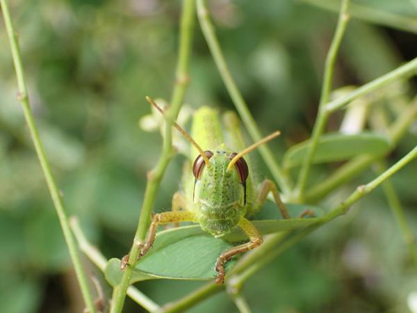 ツチイナゴの幼虫の顔