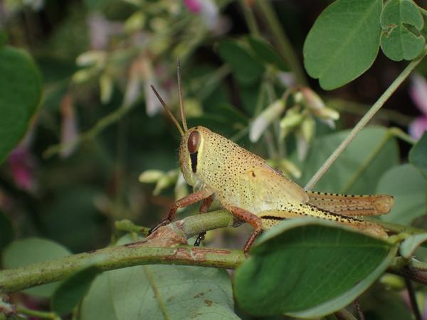 ツチイナゴの茶色の幼虫