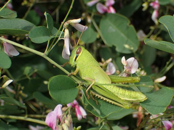 ツチイナゴの緑色の幼虫