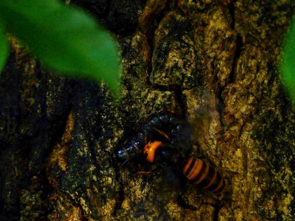 ボクトウガの幼虫とスズメバチ