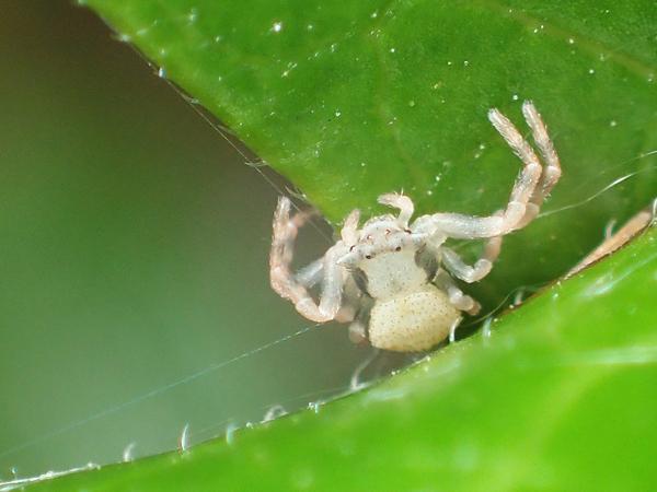 アズチグモの幼体
