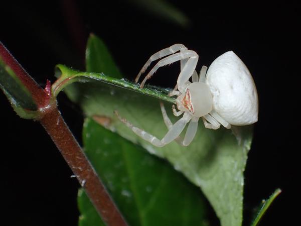 産卵準備をするアズチグモ