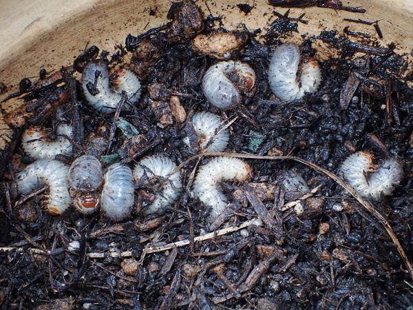 アオドウガネの幼虫