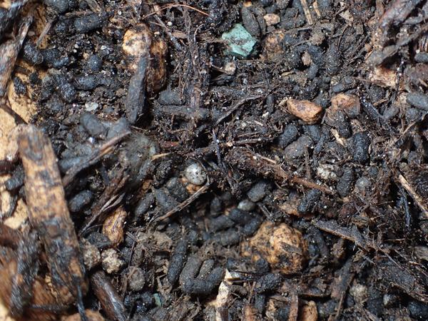 アオドウガネの幼虫のフン