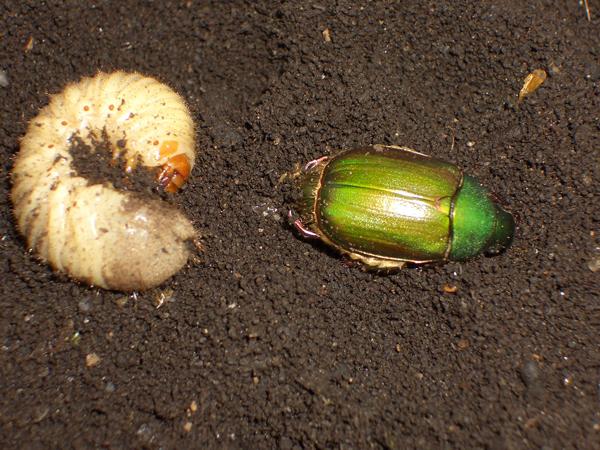 アオドウガネの幼虫と成虫