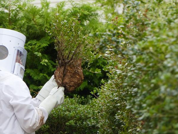 コガタスズメバチの巣撤去