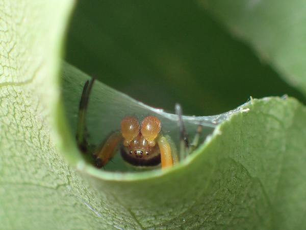 ビジョオニグモのオス