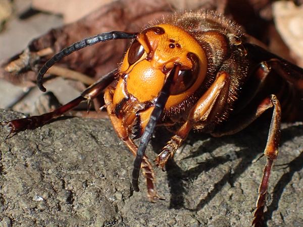 オオスズメバチ♂の顔
